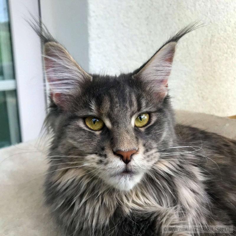 Maine Coon Katze Coco. Liebhaber Zucht Walder Riesen in Wald Allgäu